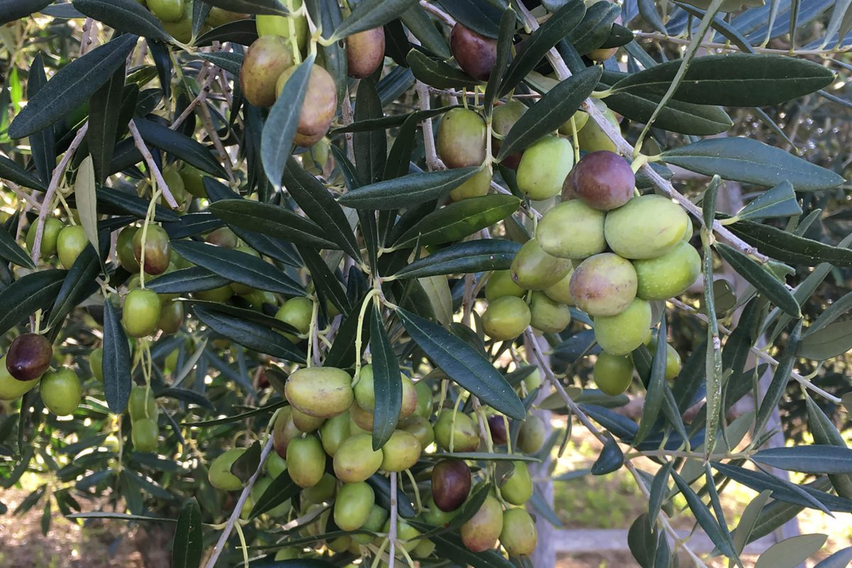 gentile cultivar trespaldum